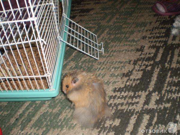 Отзыв: Ангорский хомяк - Самое замечательное в мире животное.