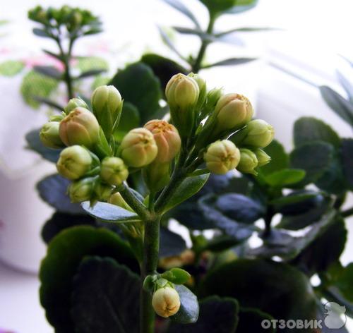 Комнатный цветок с красными колючками