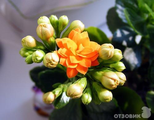 Цветок гардения купить волгоград как