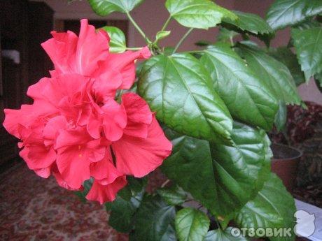Уход цветок китайская роза
