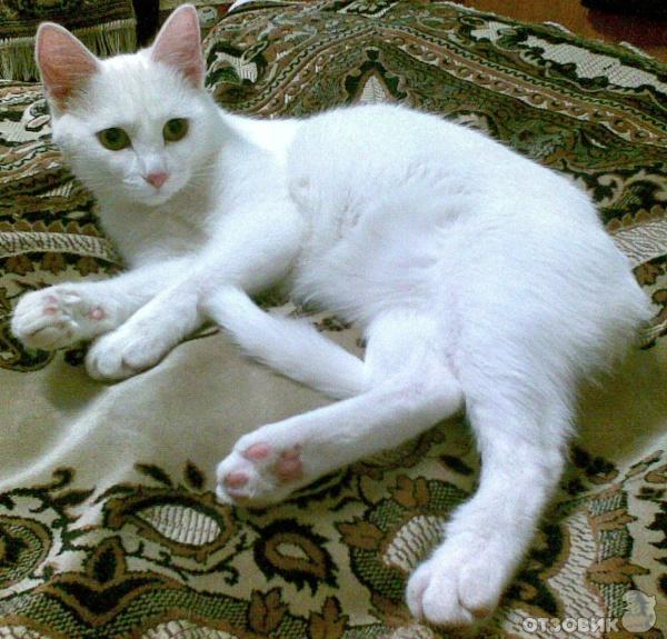 Белый кот короткошерстный порода