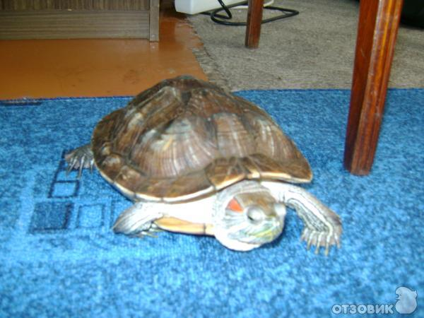 Сколько живут черепахи без воды